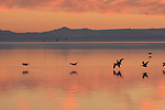 Salton Sea at sunset with white pelicans.  FB-S183.  Back faded photo.<br /> Level horizon.