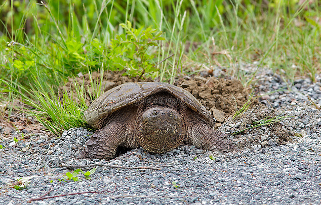 A snapping turtle lays her eggs near Eagle Lake in Acadia National Park.