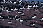 Oystercatcher, Haematopus ostralegus, group, standing on rocky edge by water