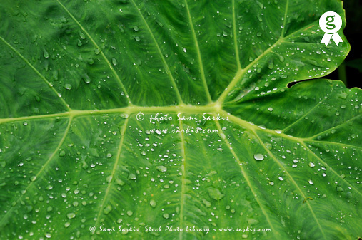 Water droplets on green leaf  after rain (Licence this image exclusively with Getty: http://www.gettyimages.com/detail/83676024 )