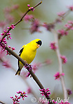 American Goldfinch (Carduelis tristis) male singing, perched in eastern redbud in spring, New York, USA