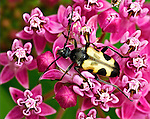 A swamp milkweed hosts a Flower Longhorned Beetle.