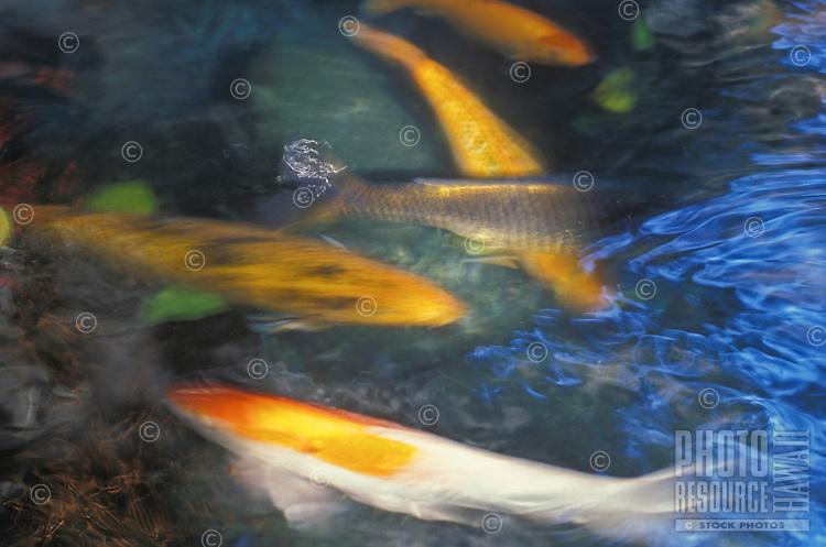 Koi swimming in blur motion