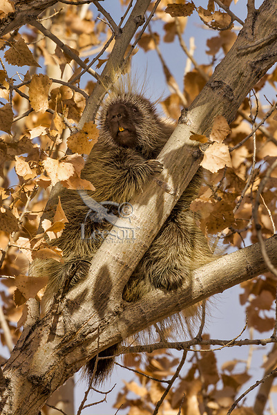 North American porcupine (Erethizon dorsatum)--also known as the Canadian porcupine or common porcupine--resting in tree.  Western U.S., late fall.