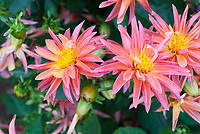 Dahlia Stargazer Mix, pink color
