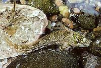 Schleimlerche, Schan, Atlantischer Schleimfisch, Lipophrys pholis, Blennius pholis, Schleimfische, Shanny, combtooth blenny