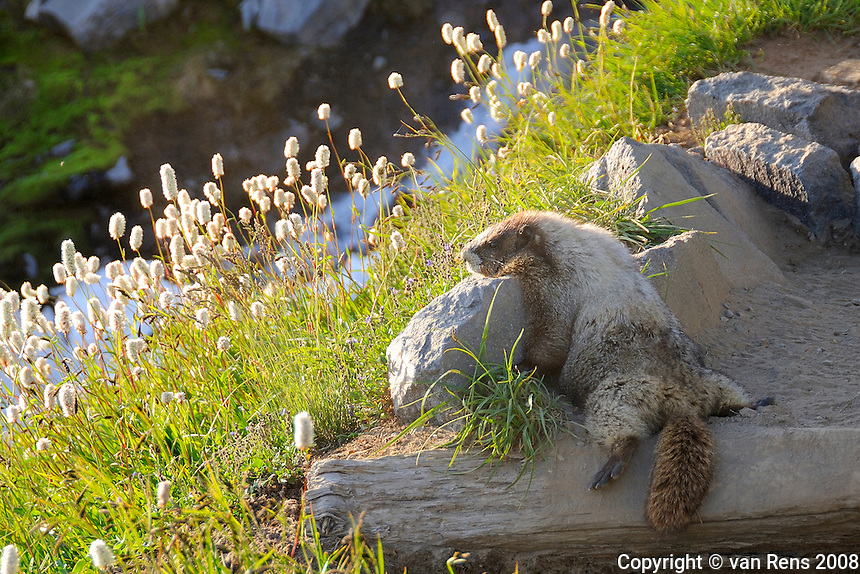 A Marmot relaxing on warm rock peering down from his high mountain meadow sanctuary.