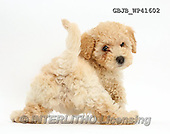 Kim, ANIMALS, REALISTISCHE TIERE, ANIMALES REALISTICOS, fondless, photos,+Cute playful Poochon puppy, 6 weeks old, rear view, looking round,++++,GBJBWP41602,#a#