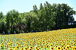 Sunflowers and the peloton during Stage 14 of the 104th edition of the Tour de France 2017, running 181.5km from Blagnac to Rodez, France. 15th July 2017.<br /> Picture: ASO/Alex Broadway | Cyclefile<br /> <br /> <br /> All photos usage must carry mandatory copyright credit (&copy; Cyclefile | ASO/Alex Broadway)