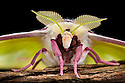 Indian Moon Moth / Indian Luna Moth {Actias selen} head-on view showing feather-like antennae.  Captive insect. website