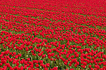Red Tulips are endless in the Netherlands