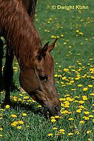 SH06-006z  Arabian Horse - mare
