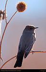 Say's Phoebe, Bosque del Apache Wildlife Refuge, New Mexico