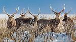 Japan, Hokkaido, Yezo sika deer (Cervus nippon yesoensis)