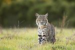 Bobcat (Lynx rufus californicus) juvenile, Santa Cruz, Monterey Bay, California