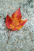 Red maple ( Aceraceae Acer rubrum L.) leaf during the autumn months in a New England USA forest