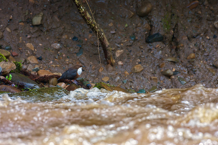 White-throated Dipper (Cinclus cinclus) perched on rocks, beneath nest alongside flooded river. Dippers have a remarkable way to catch food in a niche area. They are able to dive under water readily at will and walk along the bottom in search of caddis fly larva and other food.