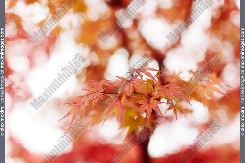 Beautiful artistic closeup of Japanese maple tree, Acer palmatum, red leaves glowing in autumn mist, abstract background, Kyoto, Japan Image © MaximImages, License at https://www.maximimages.com