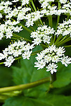Cow parsnip (Heracieum lanatum), Columbia River Gorge, Oregon