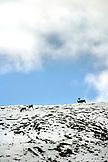 USA, Alaska, group of caribou grazing in the snow, Denali National Park