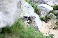 Two Young Marmots next together