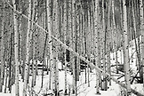 USA, Colorado, Aspen, a grove os Aspen trees next to Pine Creek