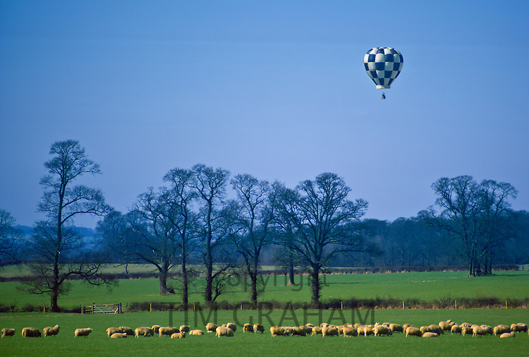 Hot Air Balloon above grazing sheep, Bedfordshire, UK.