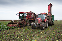 Harvesting sugar beet in the Lincolnshire Fens <br /> Picture Tim Scrivener 07850 303986<br /> &hellip;.covering agriculture in the UK&hellip;.