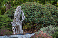 Wooden tree trunk accent, focal point by path with well pruned Osmanthus delavayi shrub in Albers Vista Gardens