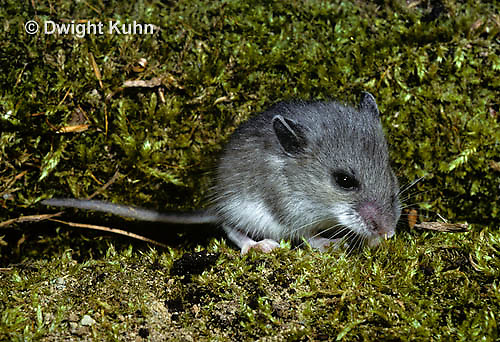 MU29-001z   White-Footed Mouse - Peromyscus leucopus