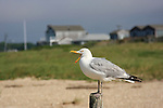 A seagull with the open beak rests on the wooden post in Yarmouth beach Cape Cod.