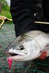 Alaska Chum Salmon