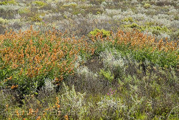 Orange pea flowers (Darling Pea) south of Petermorra Creek, near Mt Hopeless,  wildflowers result of heavy spring rains, Strzelecki Track, South Australia