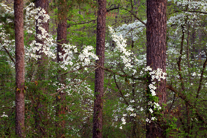 Flowering dogwood, Holly Springs National Forest, Mississippi