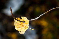 Fall landscape of Willow Leaf stuck on willow branch at Falls Creek, Alaska<br /> <br /> Photo by Jeff Schultz/SchultzPhoto.com  (C) 2018  ALL RIGHTS RESERVED<br /> <br /> David Young 2018 October Photo tour/workshop