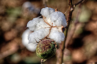 Cotton is a primary crop in the Arkansas Delta.  Arkansas is racked 5th in the nation in cotton production.