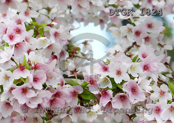 Gisela, FLOWERS, photos+++++,DTGK1824,#f# Blumen, flores, retrato