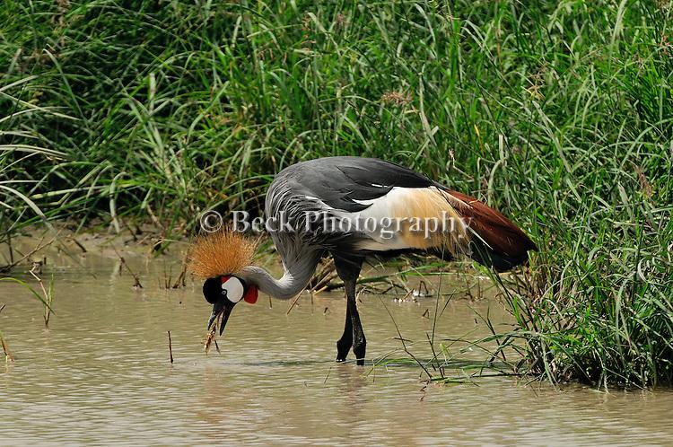 A single Grey Crowned Crane hunting for food in Lake Manyara, Africa