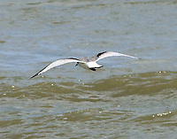 Immature black-legged kittiwake