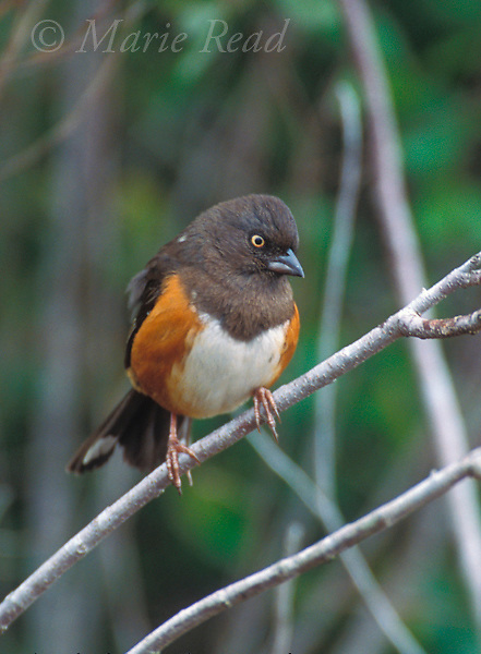 Eastern Towhee (Pipilo erythrophthalmus) female, white-eyed race, Lake Kissimee State Park, Florida, USA<br />