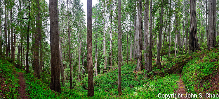 Panorama of diverging trails in Redwood forest with understory of ferns, Rhododendron Trail, Redwood State & National Parks, California.