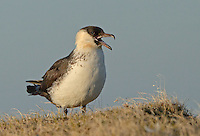 Adult pomarine jaeger calling from a mound in the tundra near Barrow, Alaska.<br />