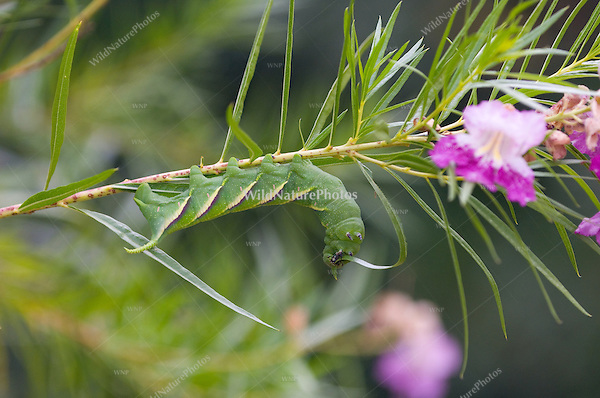 Rustic Sphinx Moth Caterpillar, Manduca rustica, on Desert Willow, Chilopsis linearis; Sonoran Desert, Arizona