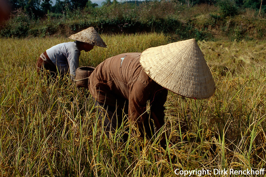 Reisernte in der Son La-Provinz, Vietnam
