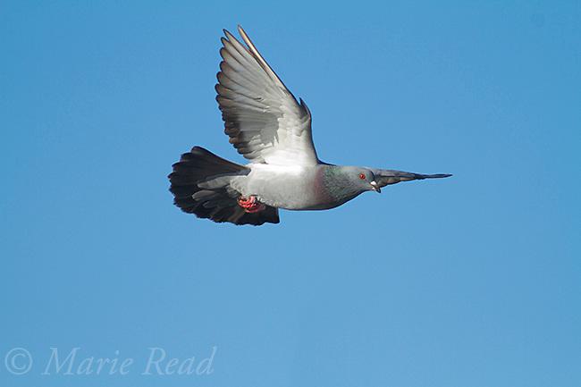 Rock Pigeon (Columba livia) adult in flight, California, USA