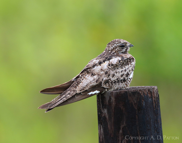 Common nighthawk. This is one of ten nighthawks I saw sitting on a short section of fence along the road to Frozen Point at Anahuac NWR. Never saw so many nighthawks in one place before. Some birds had their wing bars covered so I'll call them all Common nighthawks by default.