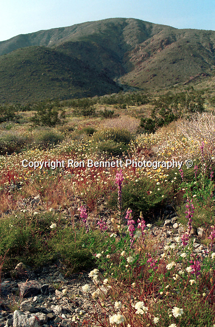 "Desert wild flowers Palm Springs San Andreas Fault is a continental transform fault runs 800 miles through California fault's motion is right-lateral strike-slip (horizontal motion) Carrizo Plain, California Fine Art Photography by Ron Bennett, Fine art Photography and Stock Photography by Ronald T. Bennett Photography ©, FINE ART and STOCK PHOTOGRAPHY FOR SALE, CLICK ON  ""ADD TO CART"" FOR PRICING, California Fine Art Photography by Ron Bennett (c), Fine Art Photography by Ron Bennett, Fine Art, Fine Art photography, Art Photography, Copyright RonBennettPhotography.com ©"