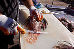 Lionfish derby, Florida Keys