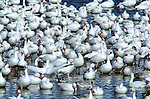 Snow geese (Chen caerulescens) congregate in winter in the waters of the Bosque del Apache National Wildlife Refuge, New Mexico