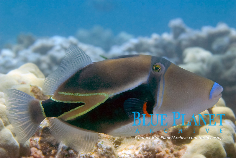 The picasso triggerfish, Rhinecanthus rectangulus, was voted Hawaii's state fish in 1984. Maui, Hawaii, USA, Pacific Ocean